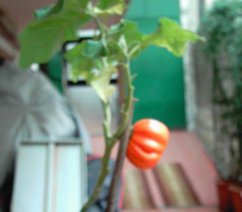 solanum aethiopicum 5