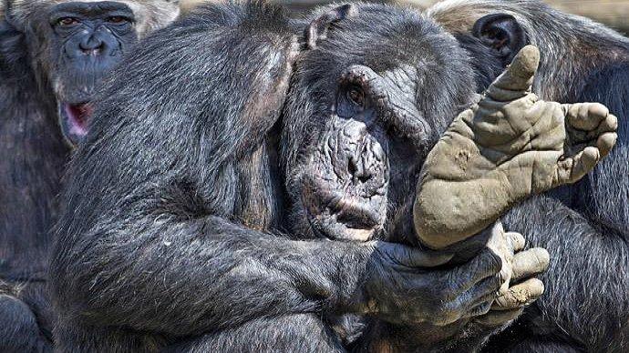 A voi le conclusioni Giudici States concedono diritti umani a scimmie Invece finanza mondialista li toglie a umani